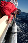 ANGLER: Craig Rushby SPECIES: Striped Marlin WEIGHT: est. 85 Kg
